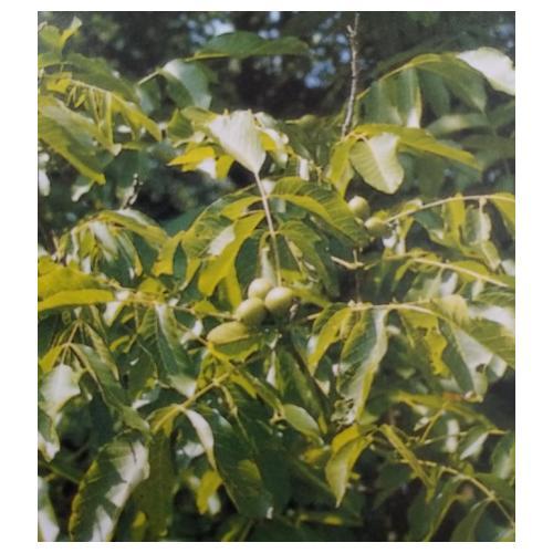 Graikinio riešutmedžio lapai