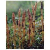 Asiūklių žolė