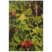 Erškėtrožių vaisiai