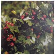 Gudobelių vaisiai